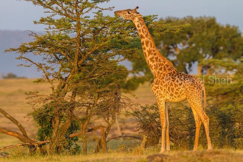 giraffe browsing acacia leaves,