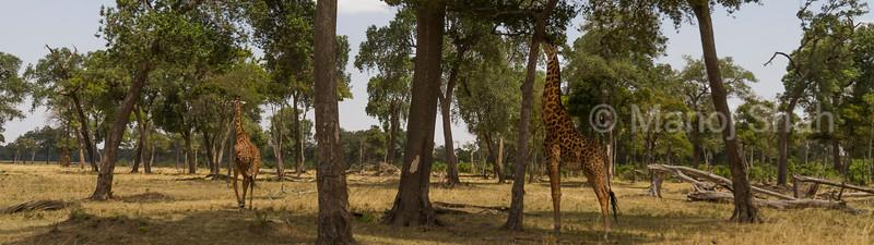 Giraffe reaching for the higher tree leaves.
