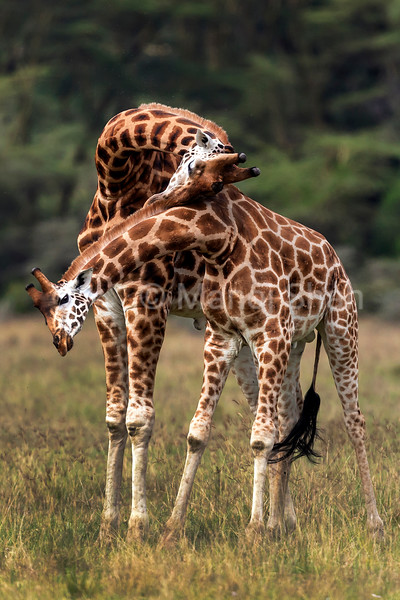 rothschilds giraffes necking