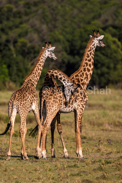 Two giraffes observing movement in the bushes