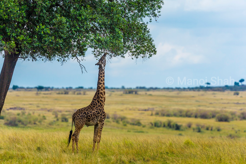 Giragge reaches to high leaves on a tree in Masai Mara