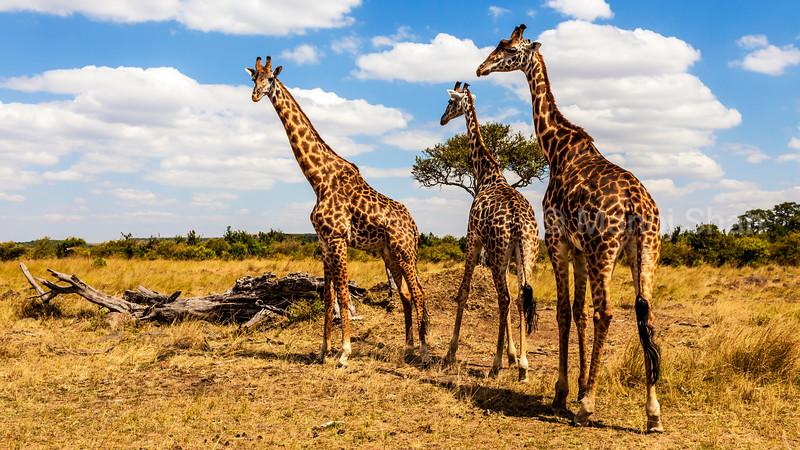 Giraffes walking across the savanna