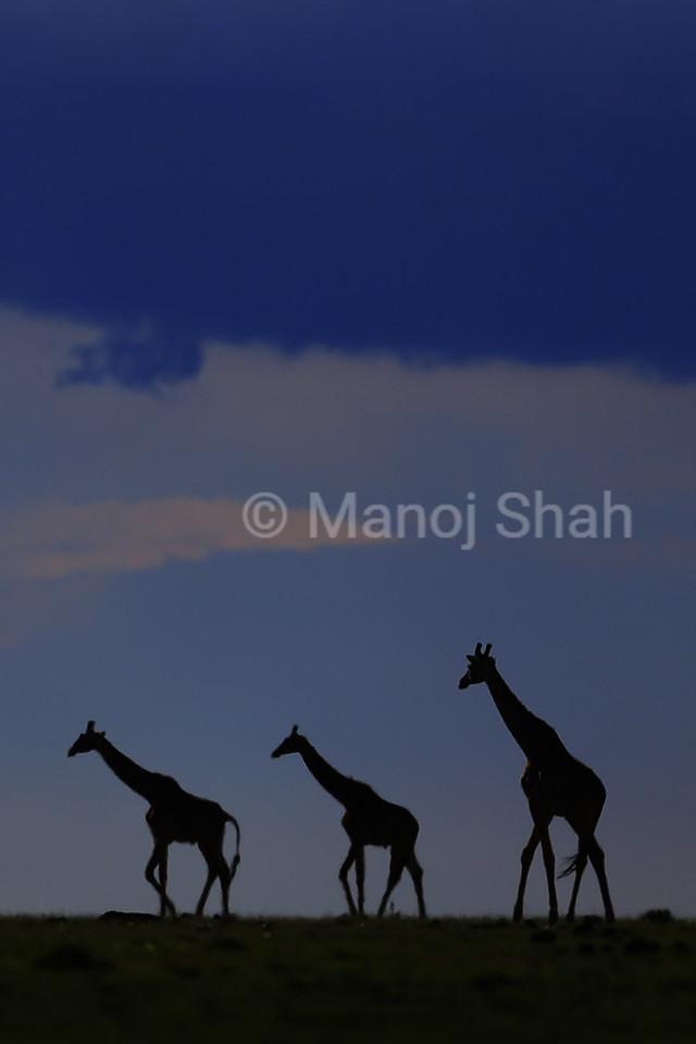 Giraffes walking on plains