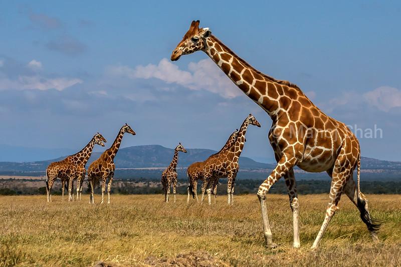 Reticulated Giraffe at ol pejeta, Laikipia