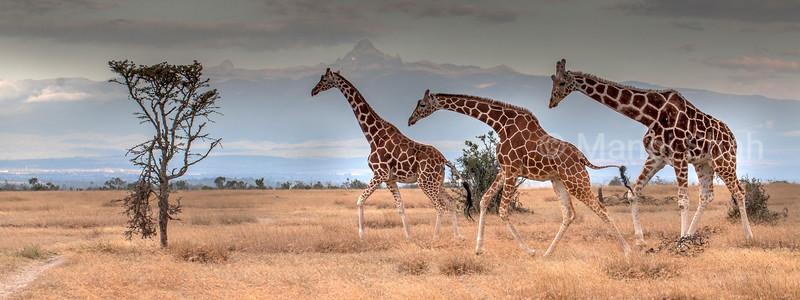 Giraffes browsing at footsteps of Mt kenya in Laikipia.