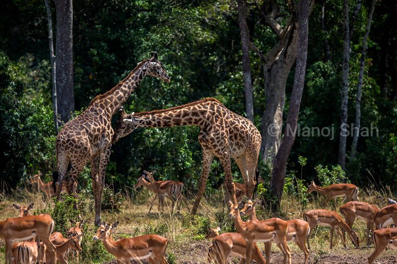Giraffes necking in midst of a female impala herd in Masai Mara