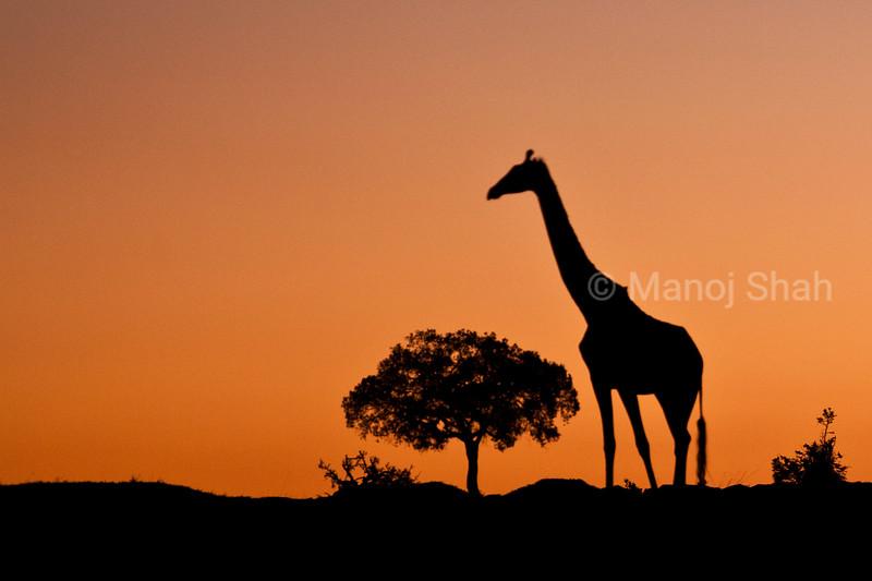 Giraffe at sunrise