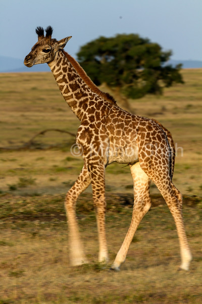 Geraffe baby walking towards mother