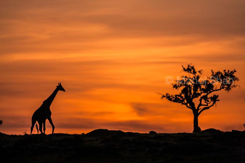 Masai Giraffe walking in savanna at dawn in Masai Mara.