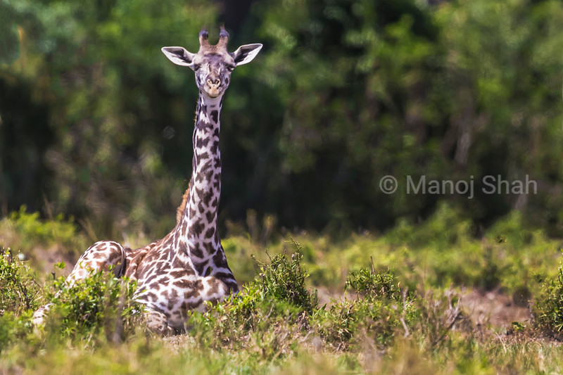 Giraffe youngster sitting down and resting