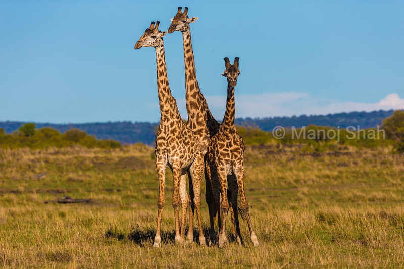 Giraffes on the plains