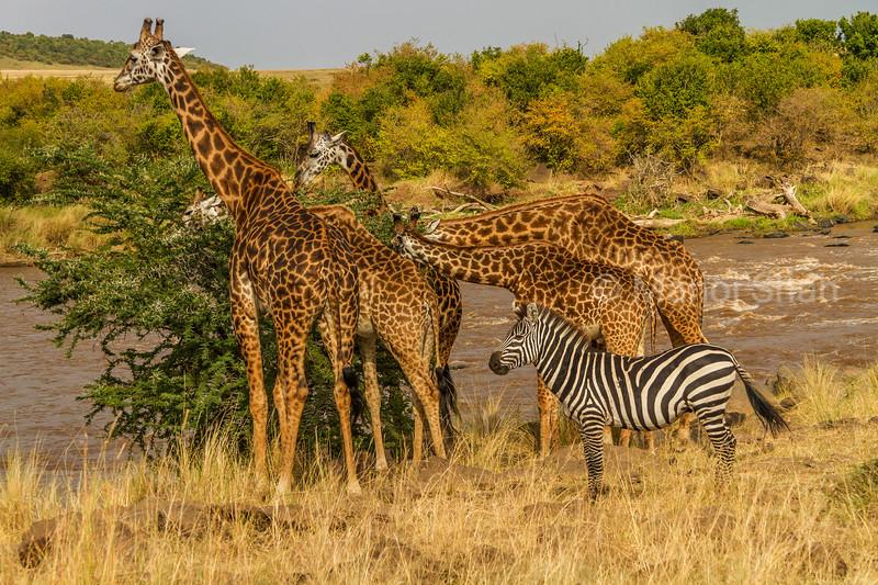 Masai Giraffes brosing on an acacia tree in Masai Mara with a zebra watching.