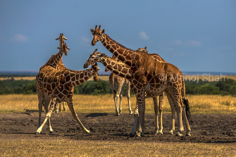 Reticulated Giraffe looking for minerals at a lick in ol pejeta, Laikipia