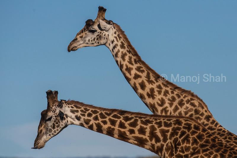 giraffes sparring