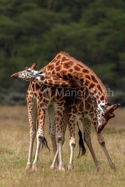 othschilds giraffes necking.