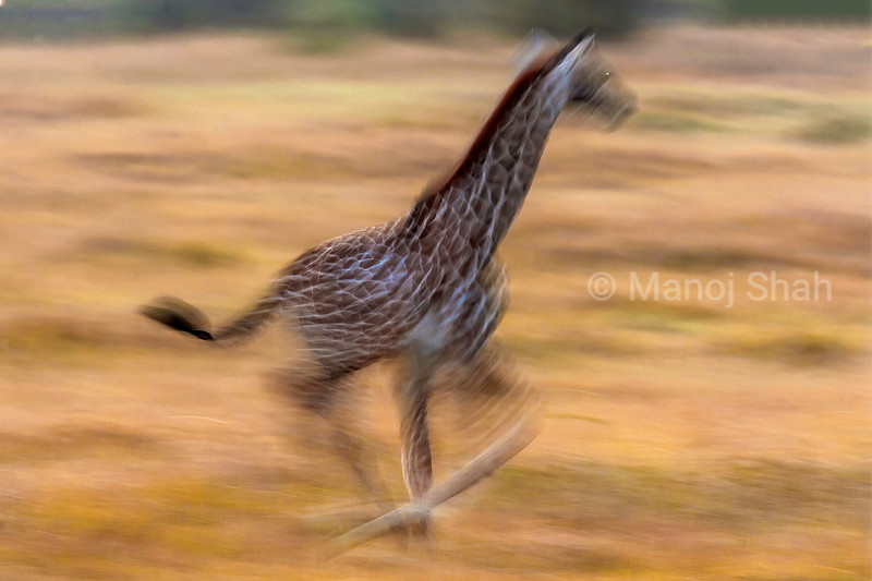 Masai Giraffe baby running at full speed in Masai Mara/