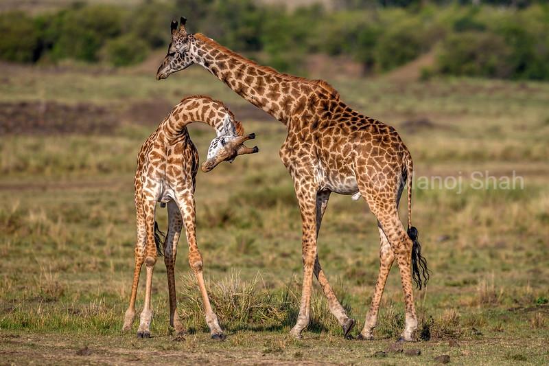 Giraffe youngsters play fighting in Masai Mara.
