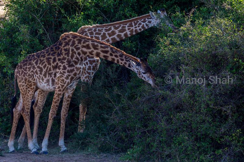 Giraffes browsing.