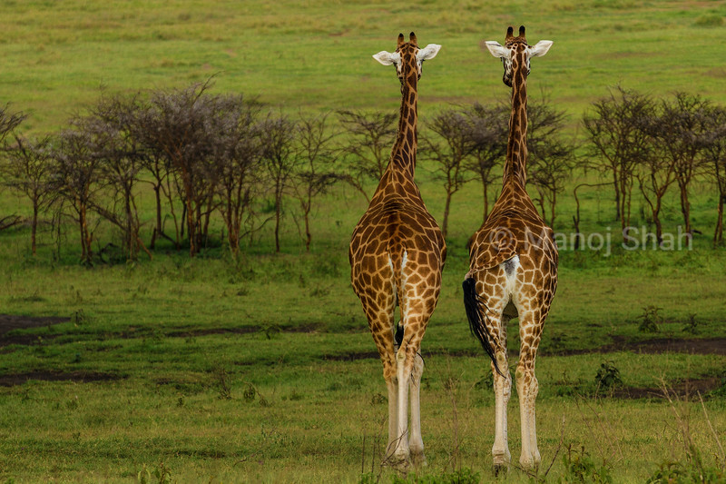 Two Rothshield Giraffes watching plains at Lake Nakuru National Park.