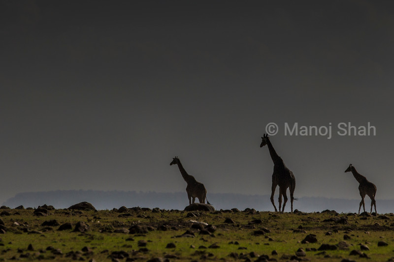 Giraffes walking across the plains
