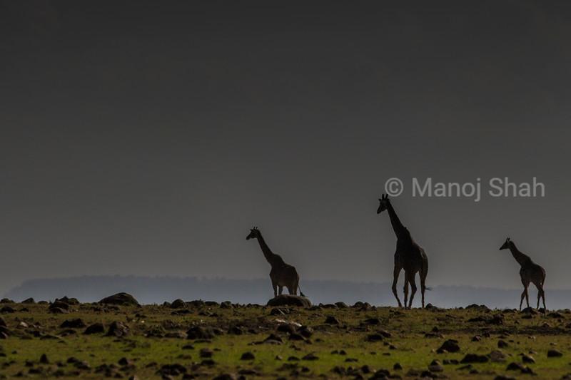 Giraffes walking across the plains