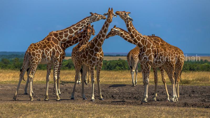 Reticulated Giraffes lgreeting each otherat asalt lick in ol pejeta, Laikipia