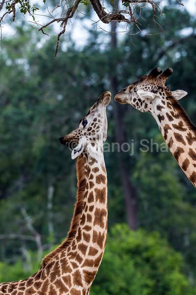 giraffe stretching to reach a high tree branch.