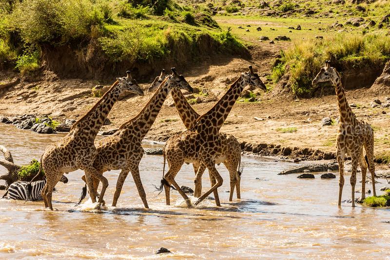 zebra and giraffes crossing river