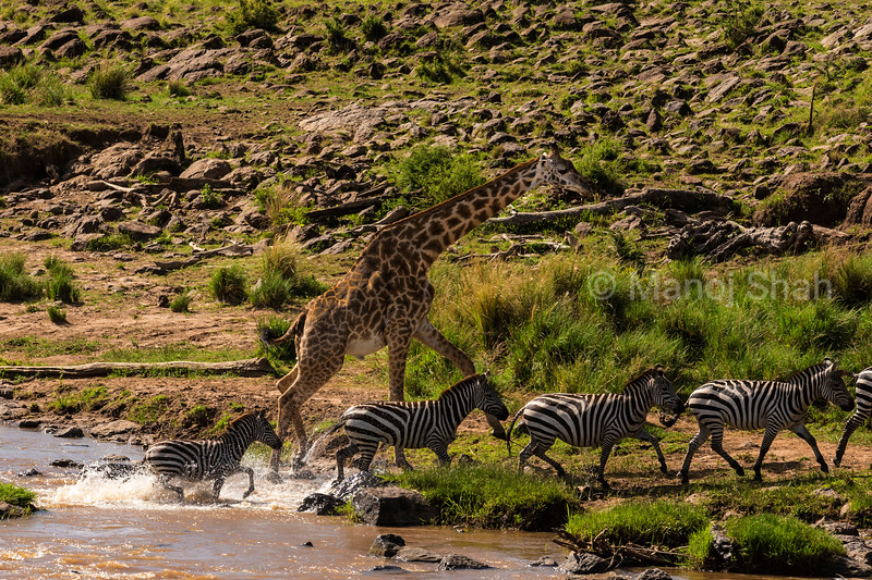 zebras and giraffe crossing river