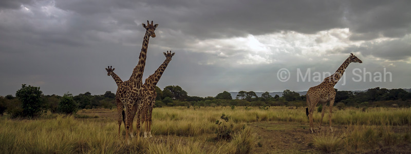 Giraffes observing hyena walking towards them in Masai Mara.