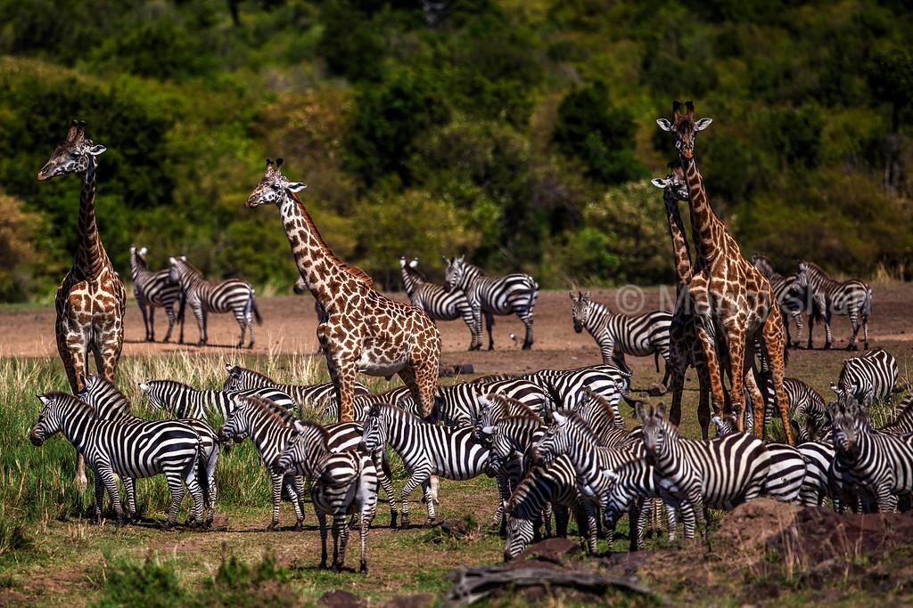 zebra and giraffes waiting before crossing river
