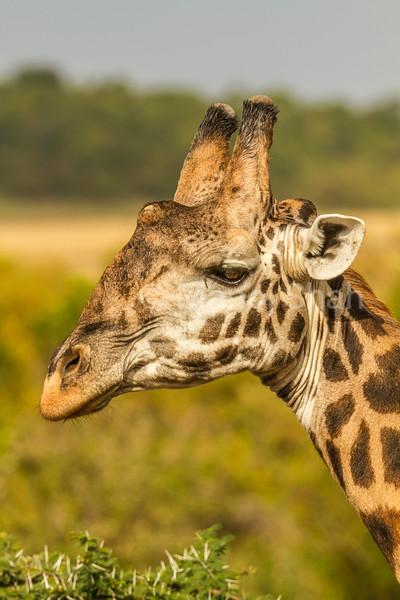 Masai Giraffe brosing on an acacia tree in Masai Mara.