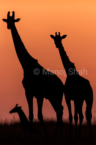 Giraffes at Sunrise
