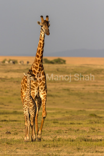 Giraffe mother with baby