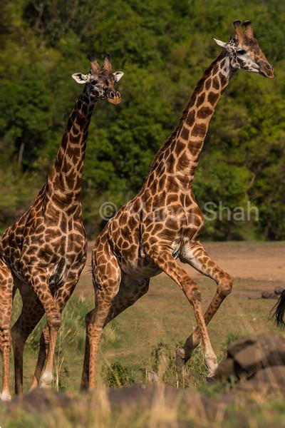 Giraffes running to cross river