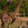 Giraffes running to cross river