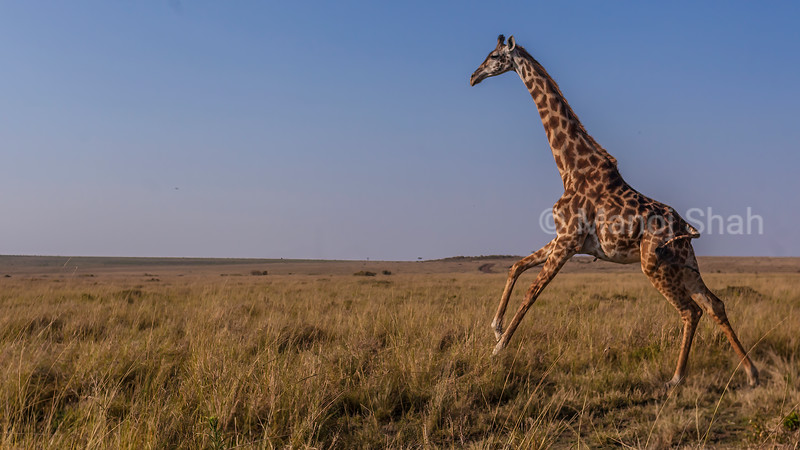 Masai Giraffe on the move in Masai Mara savanna.