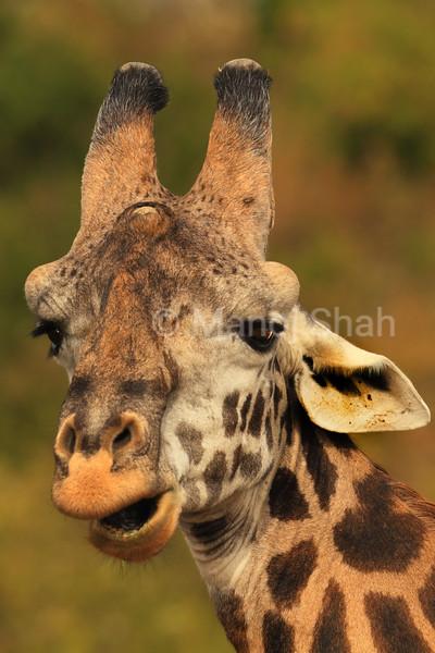 Giraffe portrait, eating leaves