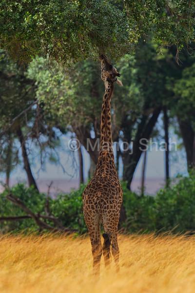 Giraffe browsing tree leaves
