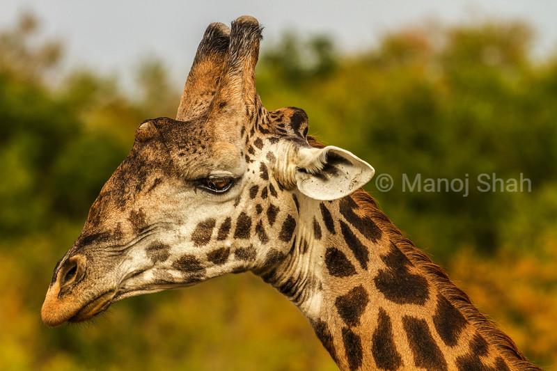 Masai Giraffe portrait in Masai Mara.