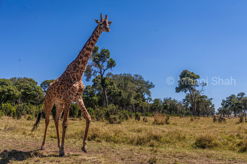 Masai Giraffe on the move in Masai Mara.