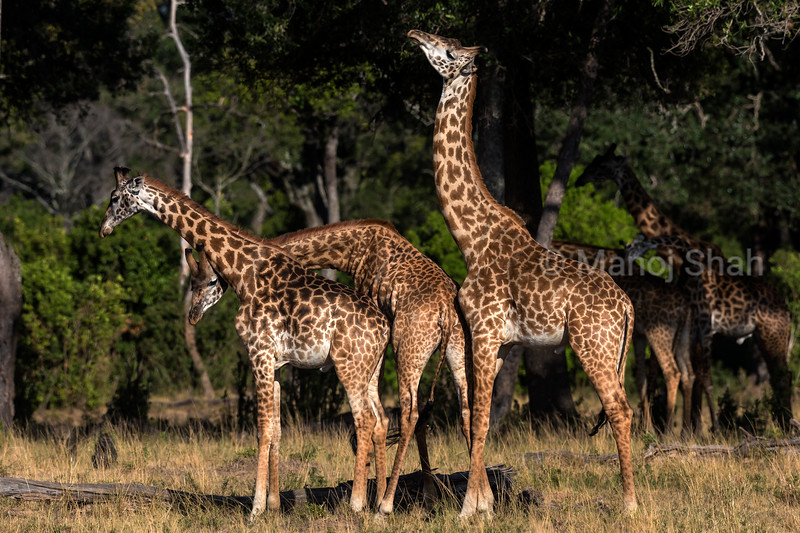 3 Giraffes necking