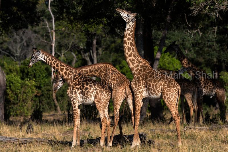 3 Giraffes necking