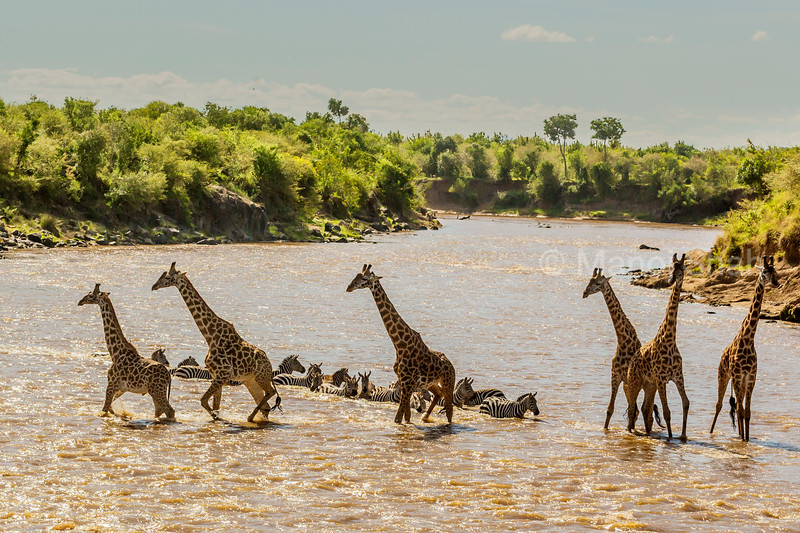 Giraffes crossing river with zebras