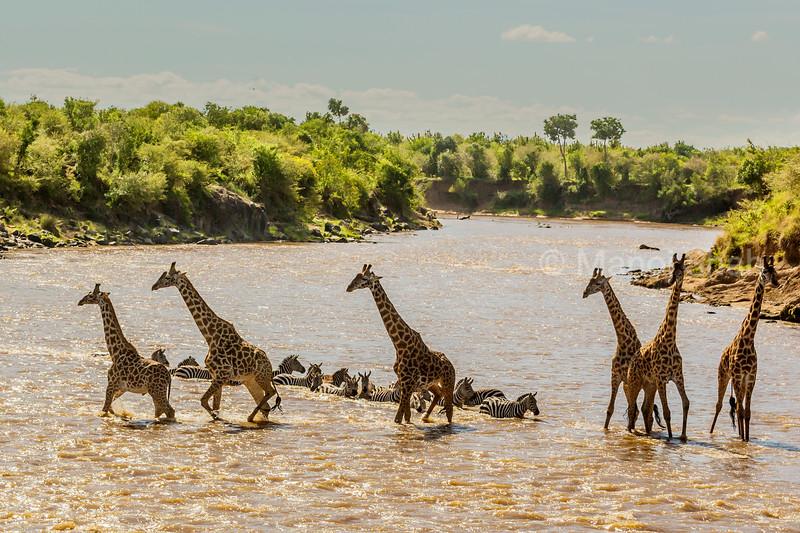 Giraffes crossing river with zebras