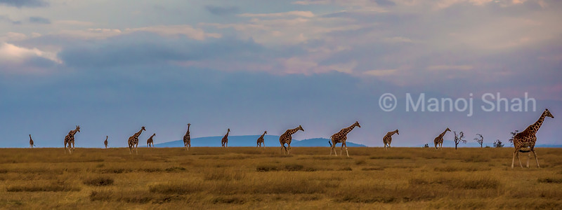 Herd of Reticulated giraffes in Laikipia landscape