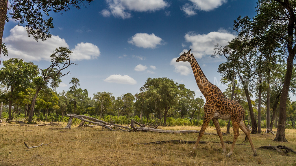 Giraffes walking to the forest.