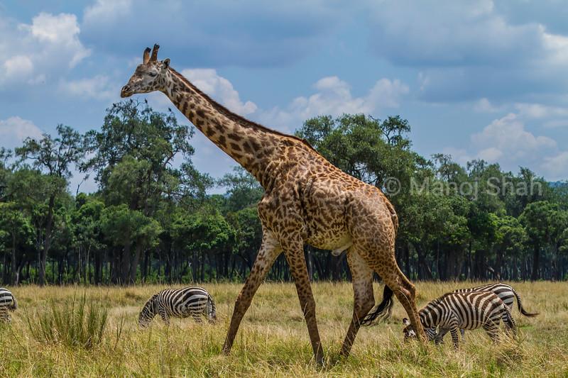 Masai Giraffe walking amidst Zebras in Masai Mara Savanna.