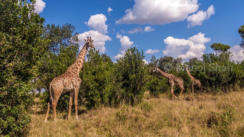 Maasai Giraffes browsing in Masai Mara.