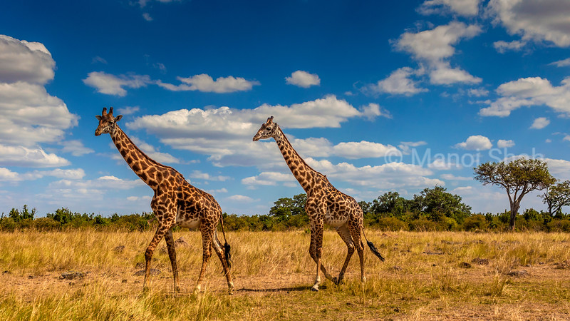 Giraffes walking across the savanna